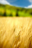 Golden wheat field. In Tuscany Royalty Free Stock Image