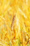 Golden wheat field. Close up golden wheat background Stock Image