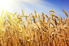 Golden wheat field Stock Photos