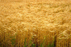 Golden Wheat Field. A full frame filled with the golden colors of growing wheat Stock Photo