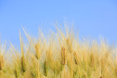 Golden wheat field Stock Image