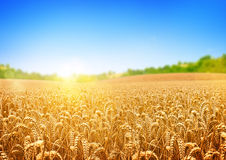 Free Golden Wheat Field Stock Image - 40026101