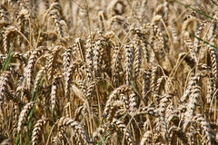 Golden wheat. Royalty Free Stock Photos
