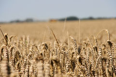 Golden wheat. Royalty Free Stock Images