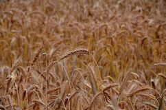 Golden wheat in field Stock Photos