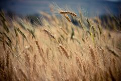 Golden wheat in field Stock Image