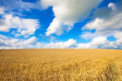 Golden wheat field against blue sky Royalty Free Stock Photos