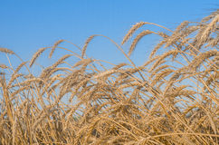 Golden wheat field. Against blue sky Stock Images