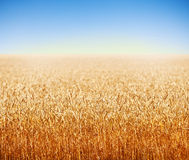 Golden wheat field against deep blue sky Royalty Free Stock Photography
