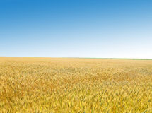 Golden wheat field against the sky Stock Image