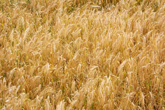 Golden wheat field in autumn Royalty Free Stock Photography