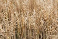 Golden wheat field. Golden background Stock Photo