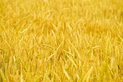Golden wheat field background Royalty Free Stock Photography