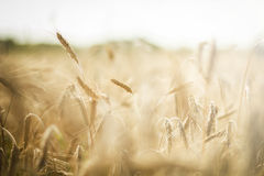 Golden wheat field. Beautiful image of wheat field Royalty Free Stock Image