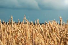 Golden wheat field and beautiful sky Stock Photo