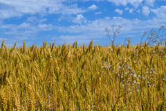Golden wheat field and blue cloudy sky Royalty Free Stock Image