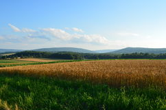 Golden Wheat field and blue skies on a sunny summer day royalty free stock photo