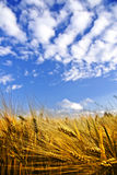 Golden wheat field on a blue sky. With puffy clouds Royalty Free Stock Photography