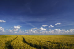 Golden wheat field and blue sky Stock Image
