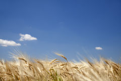 Golden wheat field and blue sky Royalty Free Stock Photography