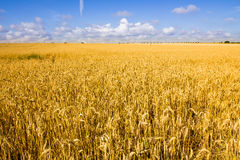 Golden wheat field and blue sky. Royalty Free Stock Photography