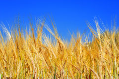 Golden wheat field with blue sky. In background Stock Image