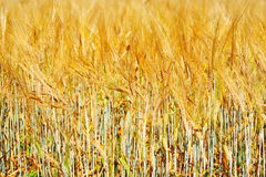 Golden wheat field with blue sky. In background Royalty Free Stock Photography