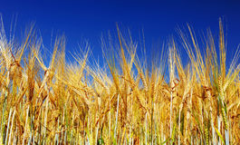 Golden wheat field with blue sky. In background stock photo