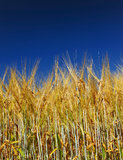 Golden wheat field with blue sky. In background stock photography