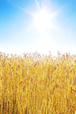 Golden wheat field and blue sky. On a sunny day royalty free stock photo