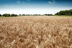 Golden wheat field. On blue sky Stock Photo