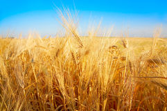 Golden wheat field and the blue sky. Golden wheat field in the sunshine and the blue sky Royalty Free Stock Photography