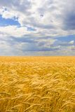 Golden wheat field and blue sky Stock Photo