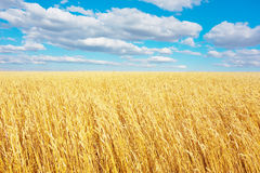 Golden wheat field Stock Photography