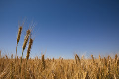 Golden wheat field and blue sky Royalty Free Stock Photo