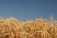 Golden wheat field with blue sky Stock Images