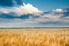 Golden wheat field with blue sky Royalty Free Stock Image