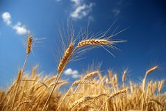 Golden wheat field with blue sky royalty free stock photos