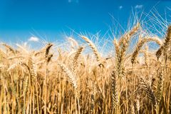 Golden wheat field with blue sky Royalty Free Stock Images