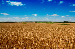 Golden wheat field with the blue sky. Background Royalty Free Stock Image