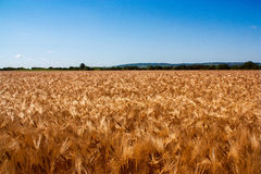 Golden wheat field with the blue sky. Background Royalty Free Stock Photo