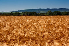 Golden wheat field with the blue sky. Background Stock Photo