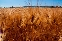 Golden wheat field with the blue sky. Background Royalty Free Stock Images