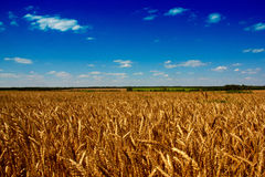 Golden wheat field with the blue sky. Background Royalty Free Stock Photography