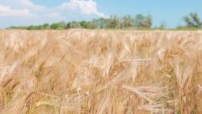Golden Wheat field stock video footage