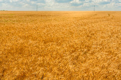 Golden wheat field. And blue sky with clouds royalty free stock image