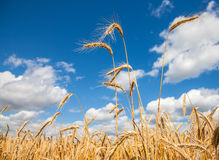 Golden wheat field with blue sky and clouds in background Royalty Free Stock Photos