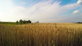 Golden wheat field with blue sky and clouds stock video footage