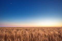 Golden wheat field and blue sky Royalty Free Stock Image