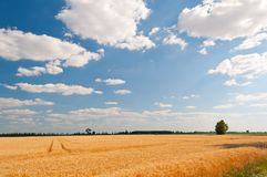 Golden wheat field with blue sky Royalty Free Stock Photography